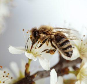 Biene trifft Apfelbaum